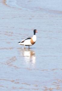 Bird, Overy Creek, Norfolk Coastal Walk