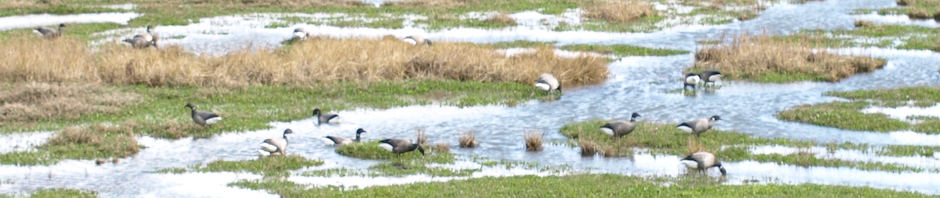 Birds on Marshes, Ruth's Coastal Walk