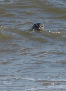 Seal near Sea Palling, watching Ruth on her coastal walk
