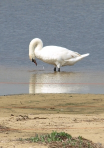 Swan cleaning its plumage, Covehithe Broad - Ruth's coastal walk