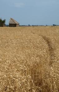 Path through the corn fields - Ruths coastal walk.