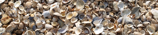 Shells on beach, East Mersea - Ruths coastal walk