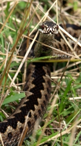 Adder, Ruth's coastal walk
