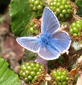 Blue Butterfly, Ruths coastal walk, Essex