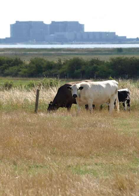 Cows and Bradwell Power Station, Ruth's coastal walk