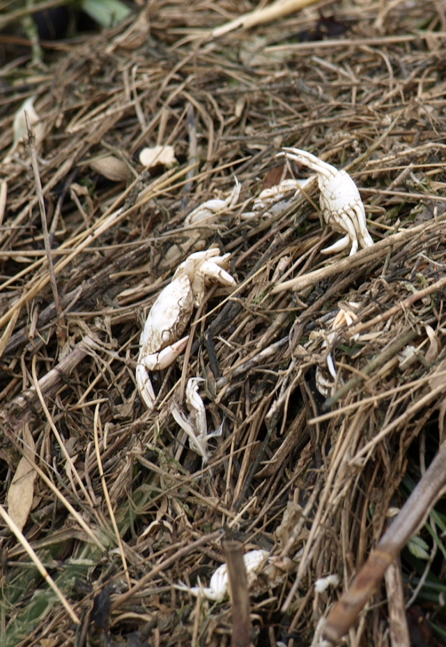 Dead crabs, along the causeway - The Strood, Ruth's coastal walk