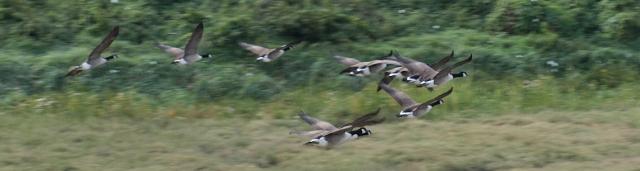 Geese flying up Benfleet Creek, Ruths coast walk in Essex