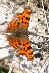 Beautiful butterfly, Ruth's coast walk, Essex
