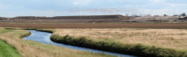 Barling Tip, with gulls, Ruths coastal walk, Essex Coast