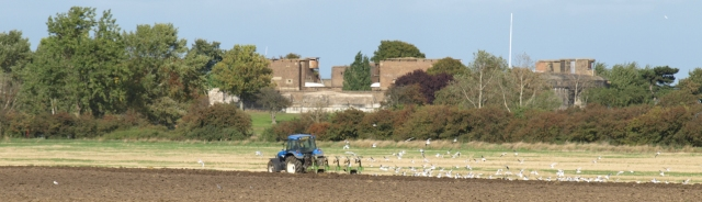 Tractor and sea gulls, near Tilbury, Essex. Ruths walk round the coast.