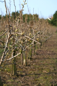 Orchard, Upchurch, Ruth's coastal walk