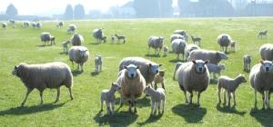 Mobbed by sheep, Upchurch, Ruth's coastal walk, Kent.