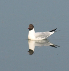 Little Gull, Ruth's coastal walk