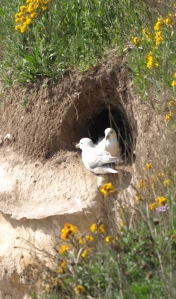 Gulls nesting in cliff, Kent, Ruth's coastal walk around the UK.