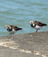Turnstone birds, Kent, Ruths coastal walk.