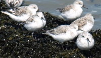 Sanderlings, Kent, Ruth's coastal walk.