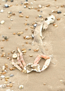 Dead fish and crabs on beach, Lydd-on-Sea. Ruths coastal walk.