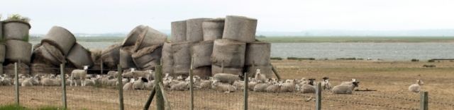 Sheep sheltering from wind, Jury's Gap Sewer, Ruth's coast walk.