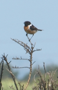 Stonechat, near Rye, Ruths coastal walk.