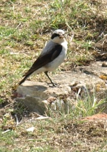 Wheatear - at Tide Mills, near Seaford, Sussex. Ruth's coastal walk.