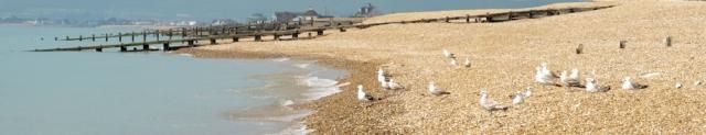 Gulls in Norman's Bay, Sussex. Ruth's coast walk