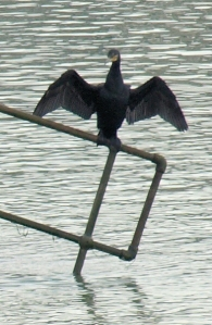 Cormorant - Eastbourne - Ruth walks the coast