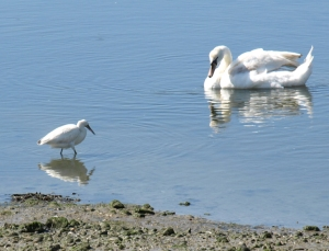 Egret and Swan, Pagham Harbour, Ruth's coastal walk. Sussex.