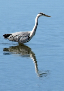 Heron in Pagham Harbour, Sussex. Ruth on her walk round the coast.