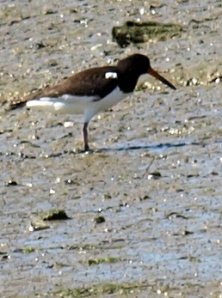 Oyster Catcher in Pagham Harbour, Sussex. Ruth on her walk round the coast.