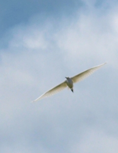 4- egret in flight, Sussex, Ruth's coastal walk.