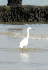 4 - Egret on beach - Sussex, Ruth's coastal walk.