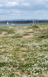 Chichester Harbour - wild flowers, Ruth's coastal walk.