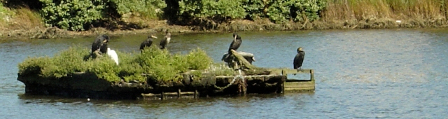 cormorants on Slipper Mill Pond, Emsworth, Ruth's coastal walk
