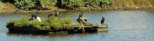 cormorants on Slipper Mill Pond, Emsworth, Ruth's coastal walk