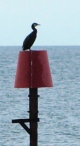 13 Cormorant - Sussex, Ruths coast walk.