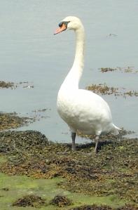 Fierce swan, Portsmouth, Ruth's coast walk