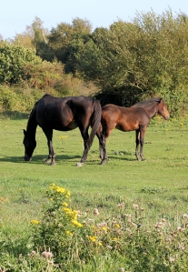 horses on common land, Ashlett, Ruth's coastal walk through New Forest.