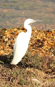Little Egret, Hurst Beach, Ruth's coastal walk.