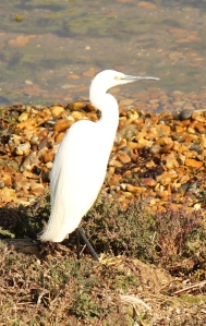 Little Egret, Hurst Beach, Ruth's coastal walk.