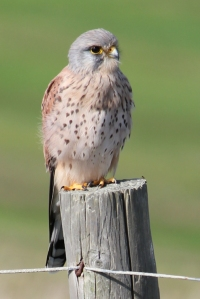Kestrel on fence post, Barton on Sea Golf Club, Ruth's coastal walk