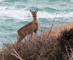 startled deer, South West Coast Path, Isle of Purbeck, Ruth's coastal walk.