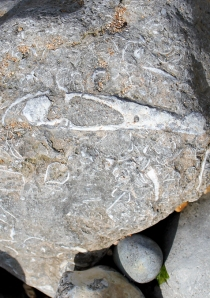 fossil fish, Ringstead Bay, Ruth's coastal walk, Dorset.