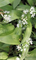 wild garlic - Ruth on South West Coast Path, Devon