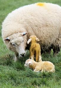 new born lambs, in fields near Abbotsbury, Ruth in Dorset