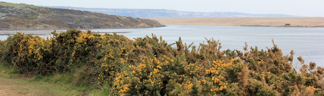 gorse, overlooking East Fleet