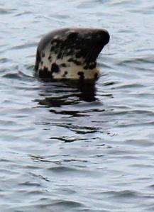 seal off Fishcombe Point, Brixham, Torbay, Ruth on her coastal walk