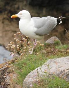 sea gull, Churston Cove, Torbay, Ruth's coastal walk.