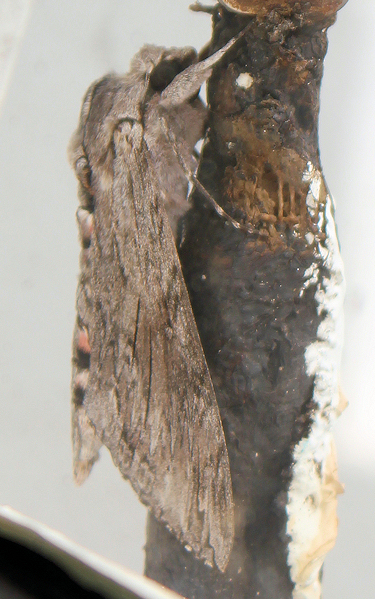 lighthouse moth, Start Point light house - Ruth's coastal walk, Devon