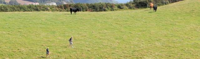 bullocks, Ruth's walk around the coast of the UK