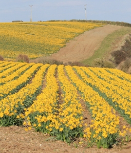 daffodil field, Cawsand Bay, Cornwall, Ruth's coast walk